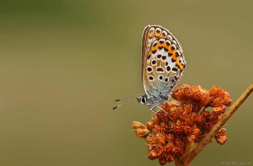 Heideblauwtje-5.jpg